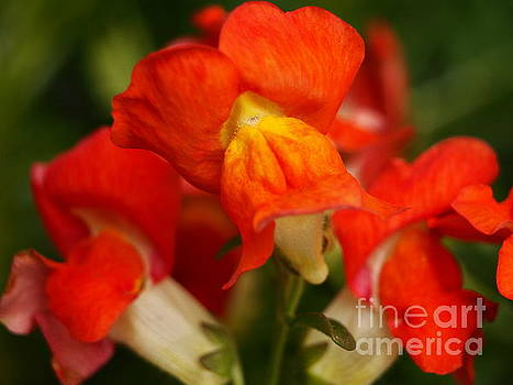 Orange Snapdragons by Dorothy Lee