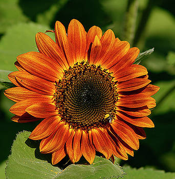 Orange Sunflower by Cindi Ressler