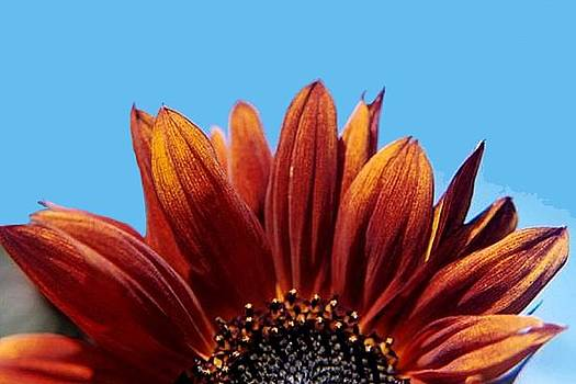 Orange Sunflower by Sarah Anderson