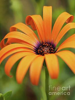 Orange Symphony 518 by Dorothy Lee