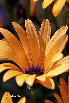Orange Symphony by Tom Buchanan