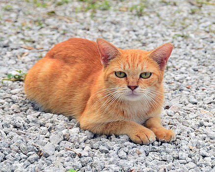 Orange Tabby Kitten in the Bahamas by Catherine Sherman