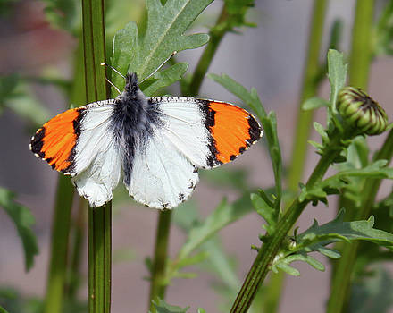 Orange Tips by Tracey Levine