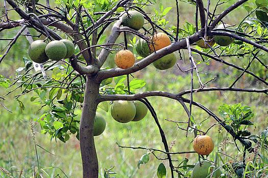 Orange Tree by Grace Dillon