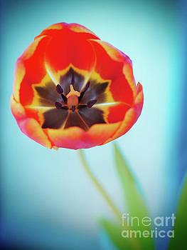 Orange Tulip Blues - vignette by Dorothy Lee