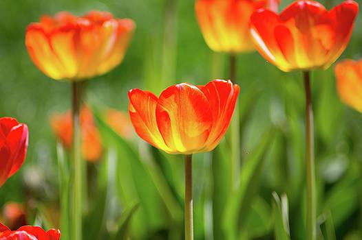 Orange Tulips by Elyssa Drivas