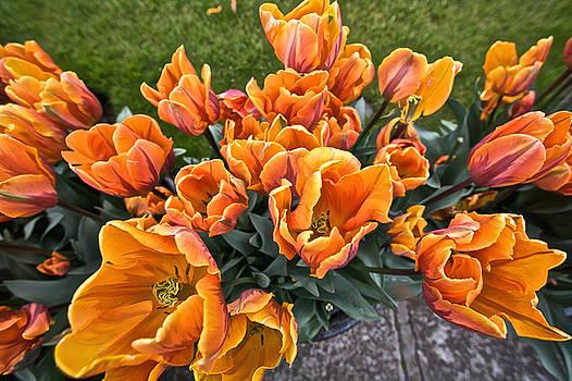 Steven Lapkin - Orange Tulips in Bloom