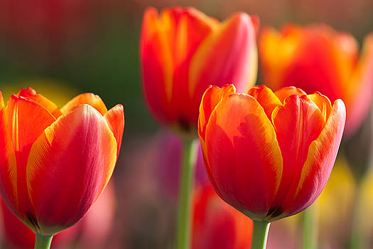 Orange Tulips by Keattikorn Samarnggoon