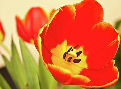 Orange Tulips by Leah Dore