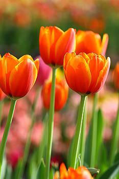 Orange tulips portrait by Keattikorn Samarnggoon