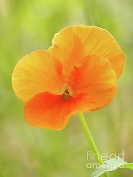 Orange Viola On A Brilliant Spring Day 3 by Dorothy Lee