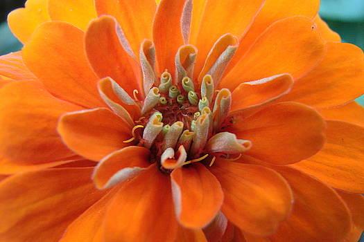 Orange Zinna by Mary Halpin