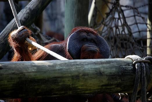 Orangutan by Charles Bacon Jr