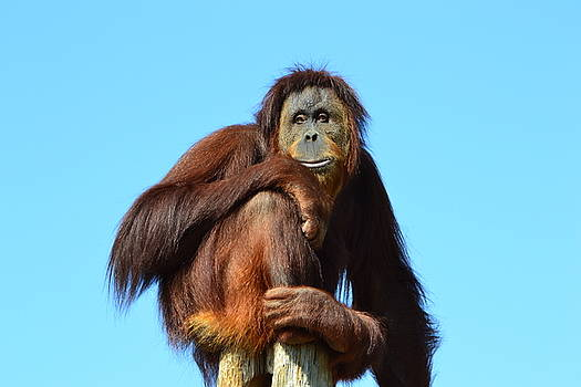 Orangutan Lookout by Jasmin's Treasures