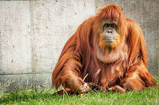 Orangutan by Victoria Winningham
