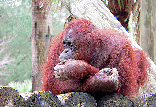 Orangutang Contemplating by Rosalie Scanlon