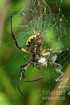 Orb Weaver Spider Photo by Melissa Fague