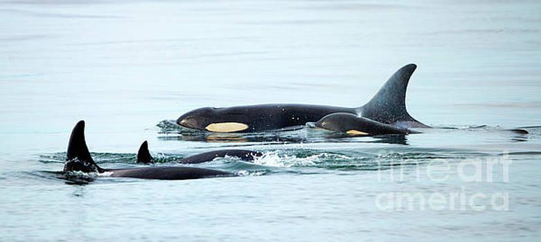 Mike Dawson - Orca Family Photo