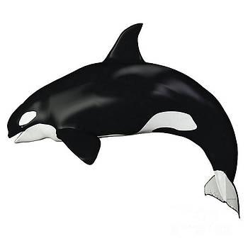Corey Ford - Orca Female Whale