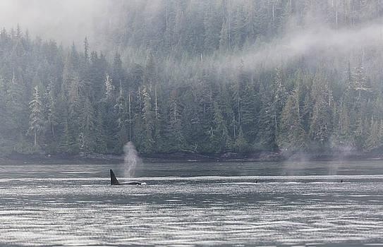 Randy Hall - Orca Male Into The Mist