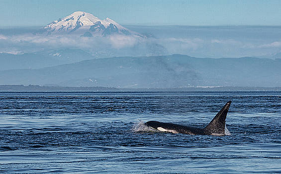 Randy Hall - Orca Male With Mt Baker