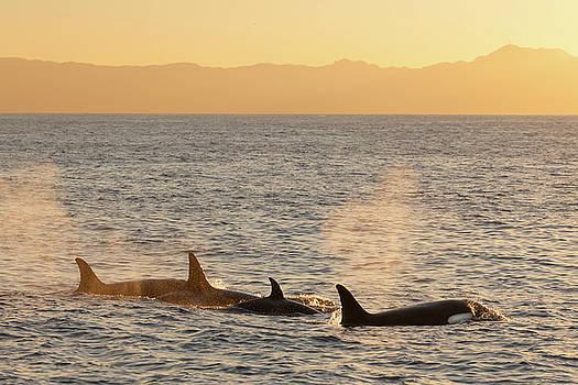 Cliff Wassmann - Orca off California
