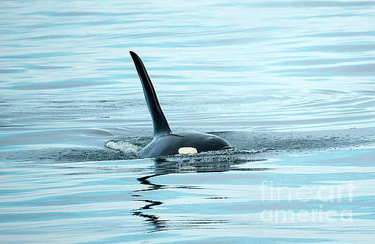 Mike Dawson - Orca Reflections