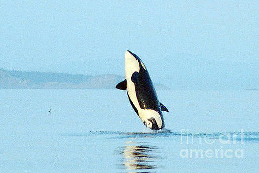 California Views Mr Pat Hathaway Archives - Orca west side of San Juan Island  1986