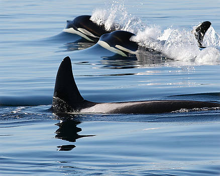 Orcas in Our Midst Faces in the Waves by Sandy Buckley