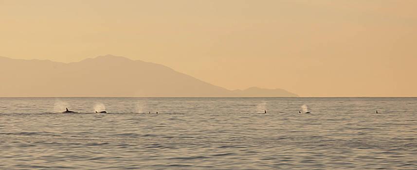 Cliff Wassmann - Orcas on Parade