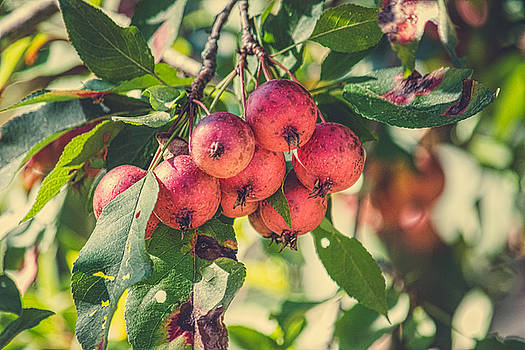 Orchard Apple by Black Brook Photography