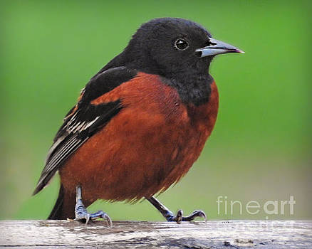 Orchard Oriole by Kathy M Krause