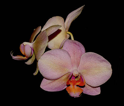 Orchid 2016 1 by Robert Morin