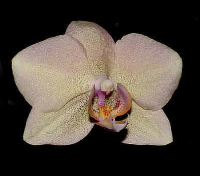 Orchid 2016 2 by Robert Morin