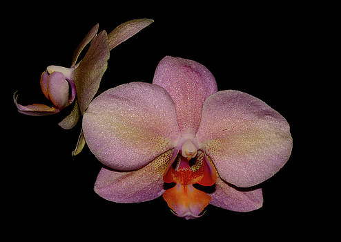 Orchid 2016 3 by Robert Morin