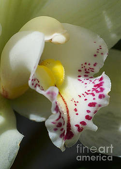 Orchid 257 by Rudi Prott