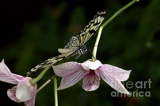 Orchid and paper kite by Ruth Jolly