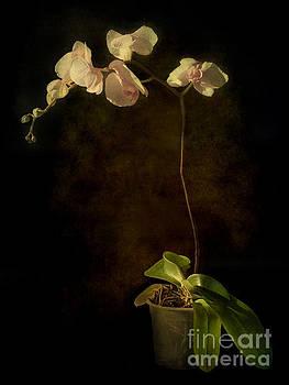 Barbara Corvino - Orchid