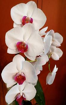 Orchid by Betsy Cullen