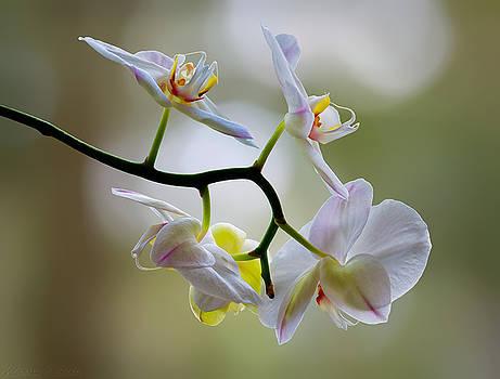 Warren Sarle - Orchid C