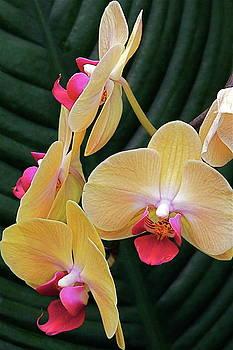 Byron Varvarigos - Orchid Color Composition