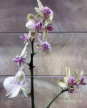 Orchid Elegance by Barbie Corbett-Newmin