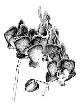 Orchid Etchings by Georgette Grossman