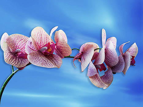 Orchid Flower by Ridwan Photography