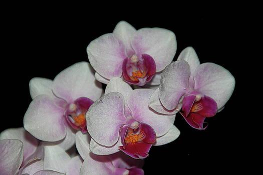Allen Nice-Webb - Orchid Glory