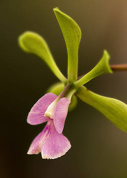 Orchid in Bloom by Linda Tiepelman