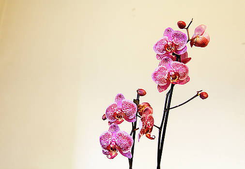 Orchid Indoor by Freepassenger By Ozzy CG
