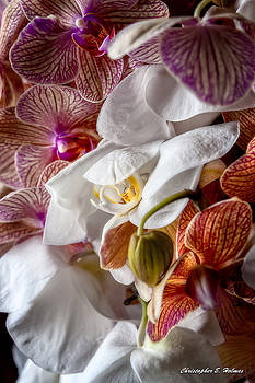 Christopher Holmes - Orchid IV