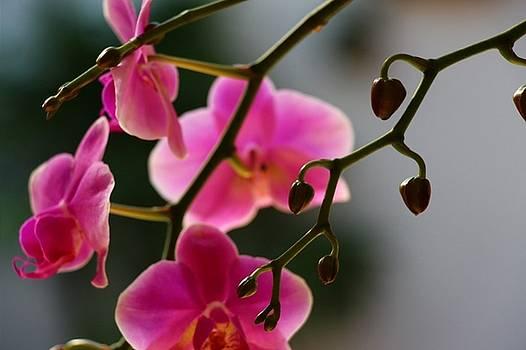 Orchid by Martha Boyle