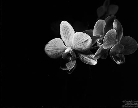 Orchid by Michael Morris